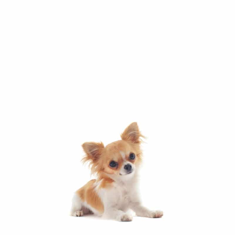 chihuahua, mini york, pudel toy